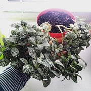 Фиттония, фітонія, фитония зелёная с белым, большая доставка із м.Запоріжжя